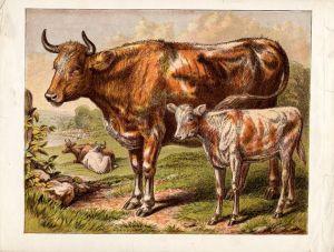 cows-14