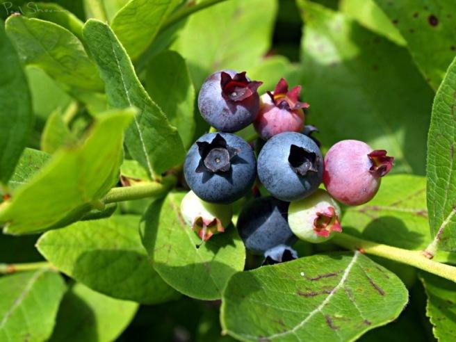 blueberries_07_04_2010