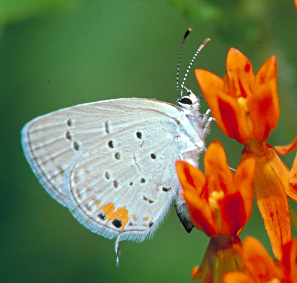 Eastern_tailed_blue_butterfly