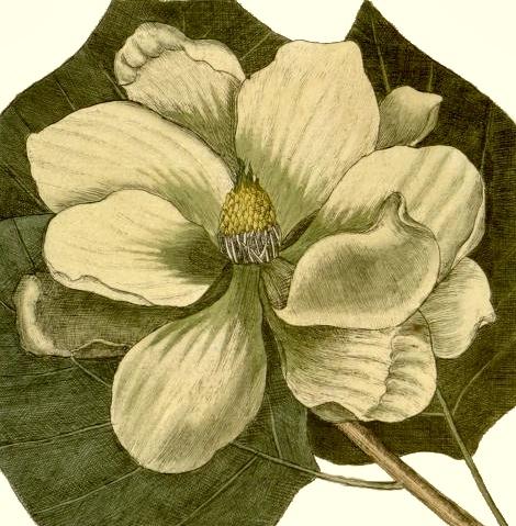 magnolia-tree-flower