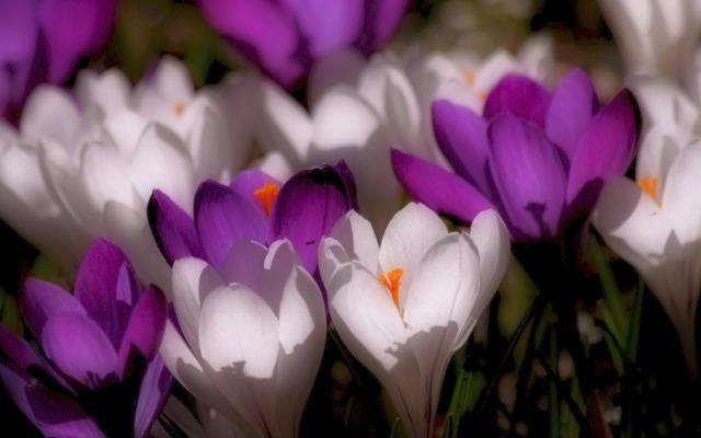 crocus_white_purple
