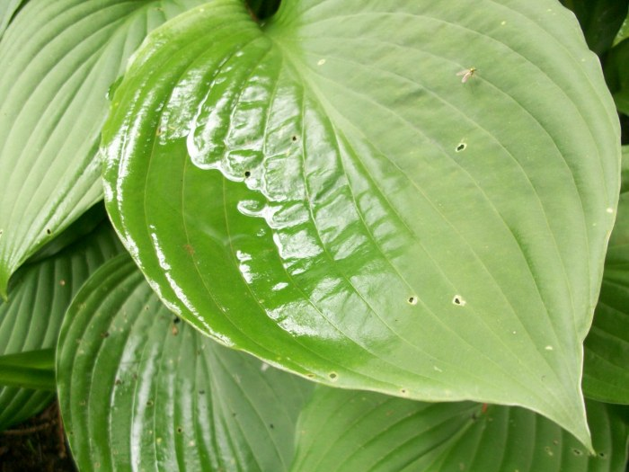 Hosta leaf after rain