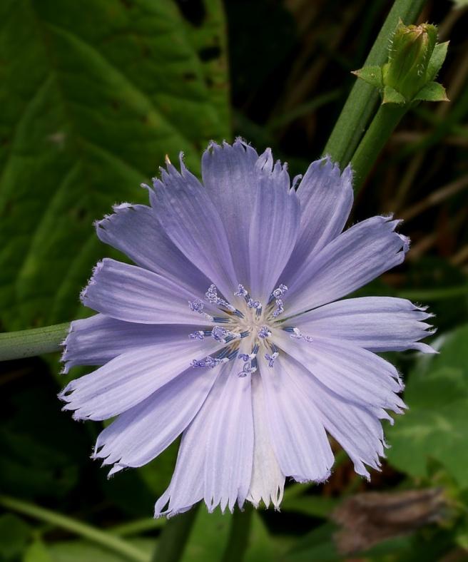 Chicory_photo