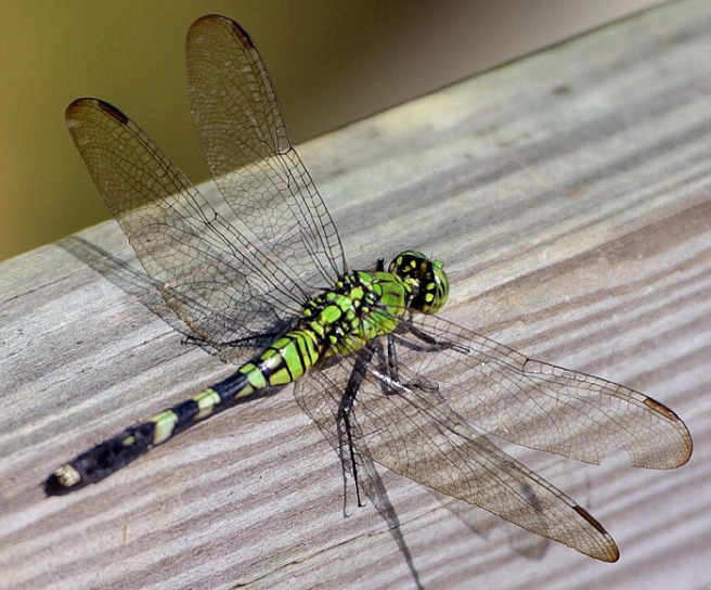 dragonfly_insect_green