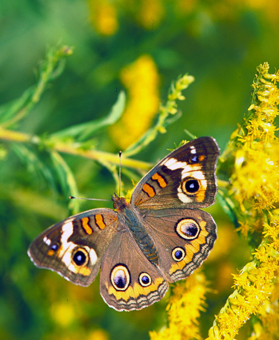 Buckeye_butterfly_on_Goldenrod
