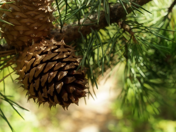 Virginia_Pine__Pinus_virginiana